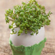 Stock Photo: garden cress