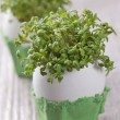 Garden cress — Stock Photo
