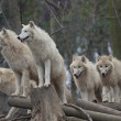 Stock Photo: Horde of arctic wolves