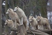 Horde of arctic wolves — Stock Photo