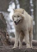 White arctic wolf — Stock Photo