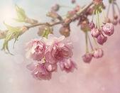 Pink cherry blossom tree — Stock Photo