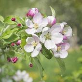 Peach blossom flowers — Stock Photo
