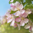 Peach blossom flowers - Stock Photo