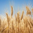 Wheat field — Stock Photo #28713061