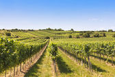 Vineyards landscape in Wachau — Stock Photo