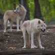 Arctic wolves — Foto Stock