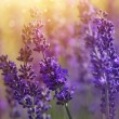 Lavender flowers — Stock Photo #50221871