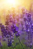Fleurs de lavande — Photo