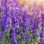 Garden lavender flowers — Stock Photo #50391029