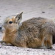 Patagonische Cavy — Stock Photo