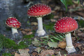 Red white spotted mushroom — Stock fotografie