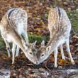 Kissing deers — Stock Photo
