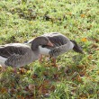 Gooses in field - Stock Photo