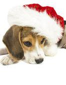 Christmas beagle — Stock Photo
