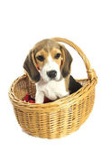 Hermosa beagle — Foto de Stock