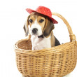 Beagle fun - Stock Photo
