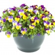 Beautiful violets — Stock Photo #25255721