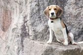 Beagle persa — Foto Stock