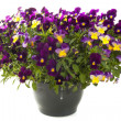 Beautiful violets — Stock Photo #25657039
