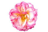 The pink rose — Stock Photo