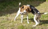 Beagle versus Jack russel — Stock Photo