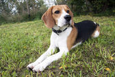 Mr beagle — Stockfoto