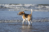 Young beagle in the water — Stock Photo