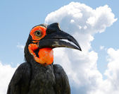 The Southern Ground Hornbill or Bucorvus leadbeateri, formerly known as Bucorvus cafer. — Stock Photo