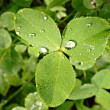 Stock Photo: Clover with drops of dew on the leaves.