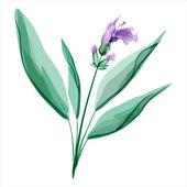 Sage. Salvia. Meadow flower — Stock Vector