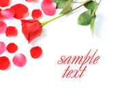 Red rose and petals on white background — Stock Photo