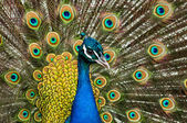 Attractive peacock — Stock Photo