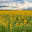 Field of sunflowers and sunset sky - Stock Photo