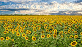 Field of sunflowers and sunset sky — Stock Photo