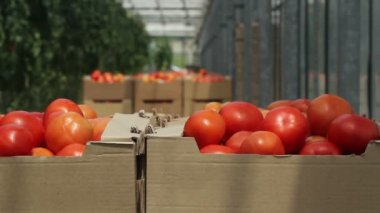 Tomatoes in containers — Stock Video