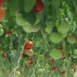 Tomatoes in the greenhouse (2 shots) — Stock Video #26616855