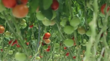 Tomatoes in the greenhouse (2 shots) — Stock Video