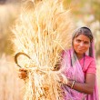 Stock Photo: Womin Indiharvest wheat