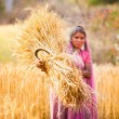 Woman in India  harvest wheat - Stock Photo