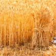 Stock Photo: Sheaves of ripe wheat