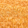 Field with beautiful  golden spikelets — Stock Photo