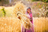 Woman in India  harvest wheat — Stock Photo
