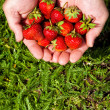 Fresh picked strawberries in hand — Foto Stock