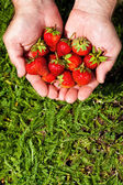 Fresh picked strawberries in hand — Stock Photo