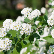 Spirea in a garden — Stock Photo