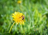 Bee On Dandelion — Stock Photo