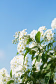 Spirea flowers — Stock Photo