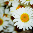 Bouquet white daisywheel - Stock Photo