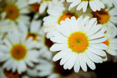 Bouquet white daisywheel — Stock Photo